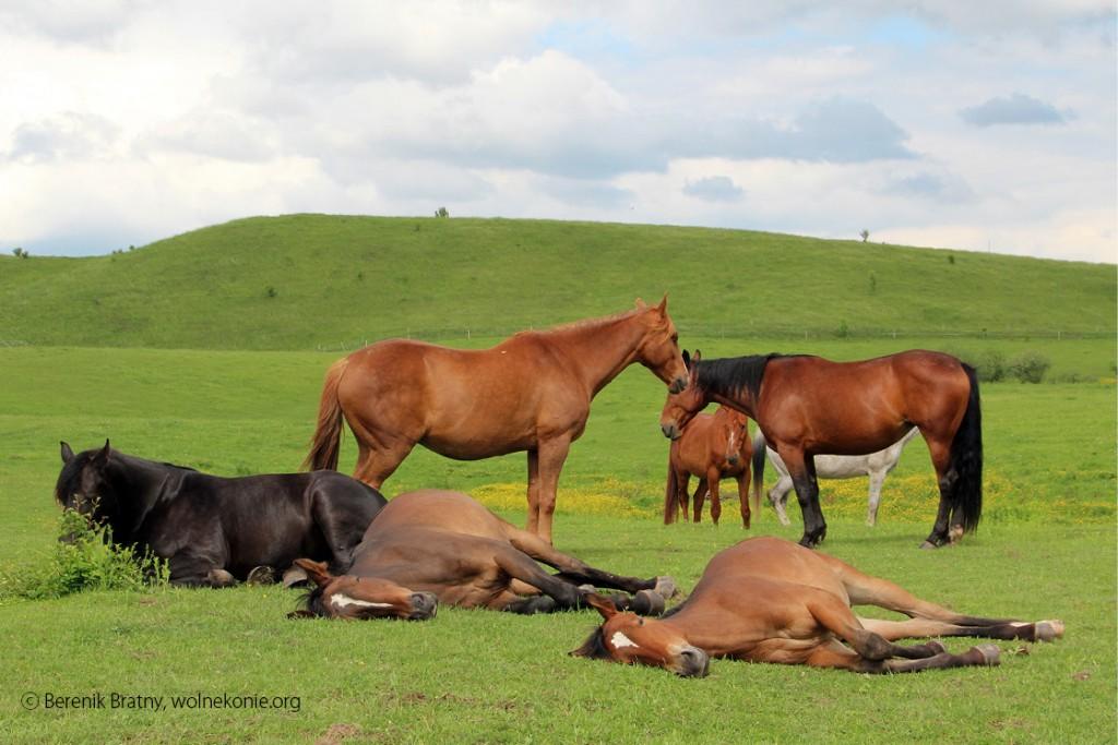 konie_3